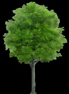 Azadirachta Indica: l'albero del neem
